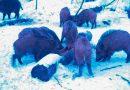 Группа диких кабанов попала в объектив фотоловушки